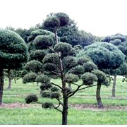 Бонсай Pinus sylvestris фото