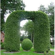 "Carpinus betulus:форма ""арка"" фото"