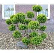 """Juniperus media """"Hetzii"""" фото"""