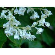 Горец бальджуанский или Гречиха бальджуанская — Polygonum baldschuanicum Regel фото