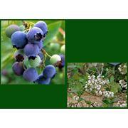 """Vaccinium corymbosum """"Bluecrop"""" Черника щитковая """"Блуекроп"""" фото"""
