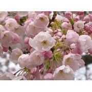 Сакура цветущая в Молдове фото