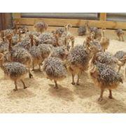 Молодняк страусов фото