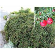 Cotoneaster adpressus Кизильник прижатый фото