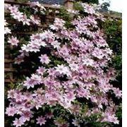Клематис 10 сортовpiniro.jimdo.com piniropiniro.jimdo.com фото