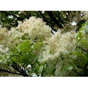 Fraxinus ornus Ясень цветочный фото