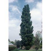 """Populus nigra """"Italica"""" Тополь черный """"Италика"""" фото"""