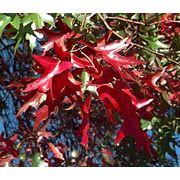 Quercus palustris Дуб болотный фото