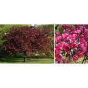Яблони пурпурные в Молдове