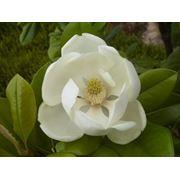 Magnolia Grandiflora Francois Treyve Магнолия грандифлора крупноцветковая Francois Treyve фото