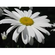 Ромашка крупнаяНивяник - Matricaria фото