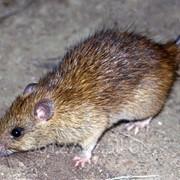 Уничтожение домовых мышей и крыс фото