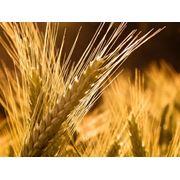 Семена зерновых культур Семена зерновых культур фото