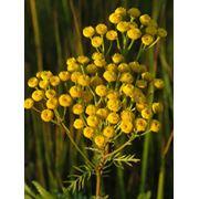 Пижма цветки (Tanacetum vulgare flos) фото