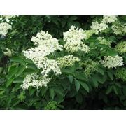 Бузина черная цветки(Elder flowers) фото