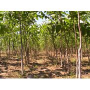 Участки для садоводства: ореховый сад фото