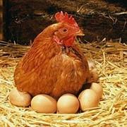 Экспертиза мяса птицы, яиц и продуктов их переработки фото