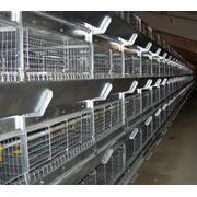 Оборудование клеточное для птицеводства Оборудование клеточное для птицеводства фото