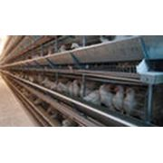 Оборудование клеточное для птицеводства Хельман комплект для содержания кур несушек фото
