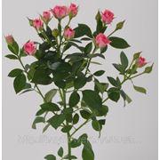 Грация розовая спрей роза веточная оптом от Аскания Флора в Киеве фото