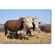 Казахская белоголовая в Казахстане продажа Племенной скот Казахская белоголовая фото