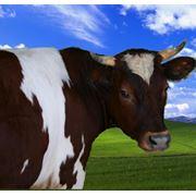 Премиксы для сельскохозяйственных животных премикс для КРС премикс для крупного рогатого скота фото