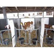 Оборудование для выращивания молоднякаТелята в индивидуальных станках фото