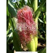 Кукуруза фото