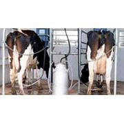 Система доения коров фото