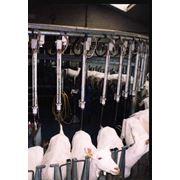 Системы доения коз овец фото