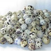 Яйца перепелиные фото