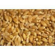 Пшеница Продовольственная фото