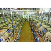 Доильные залы для овец фото