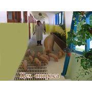 Свиньи племенные в Молдове фото