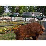 Свиньи породы Дюрок в Молдове фото