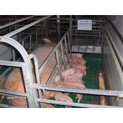 Молодняк свиней в Молдове продажа фото