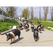Свиньи породы Гемпшир в Молдове фото