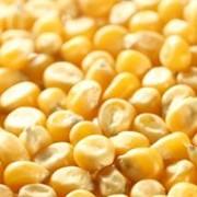 Кукуруза (продовольственная,фуражная) фото