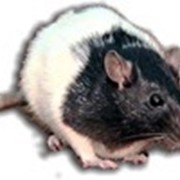 Крысы декоративные фото
