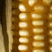 Кукуруза кормовая фото