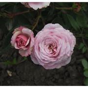 Саженцы роз Blue Elric ( Блу Елрік) фото