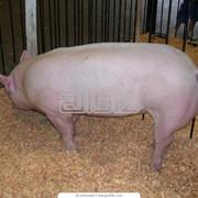Оболочка натуральная свиная, свинина субпродукты фото