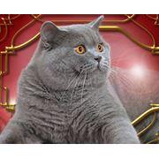 Вязка с британским голубым котом Дымом фото