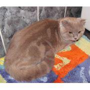 Шотландский вислоухий кот для вязки фото