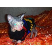 Вязка с донским сфинксом Рамзесом фото