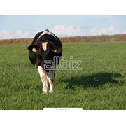 Разведение крупного рогатого скота фото