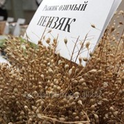 Семена Рыжика озимого сорт Пензяк категории СуперЭлита и Элита фото