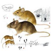 Крыс избавление фото