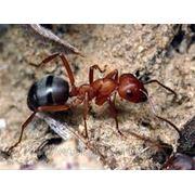 Уничтожение муравьев Киев и Киевская область. Дезинсекция муравьев в Киеве. фото