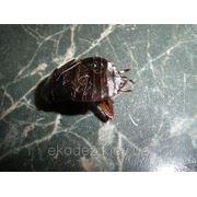 Избавиться от черных тараканов фото